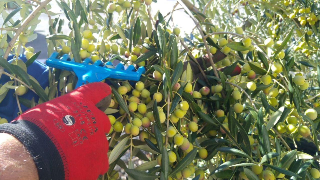 olivas san cebrín cooperativa