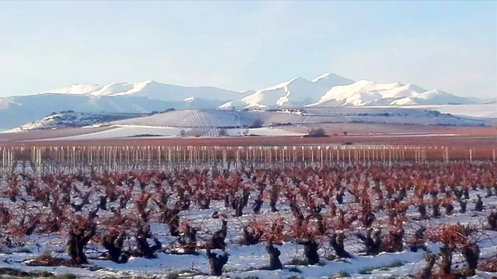 Preciosa postal navideña de nuestras vides nevadas con el fondo de montañas totalmente blanco. Viñas sin podar.